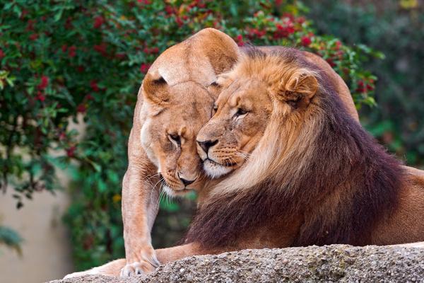 lion snuggle