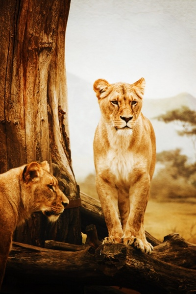 lioness in africa