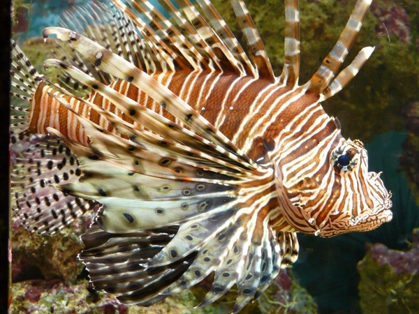 lionfish fish pacific rotfeuerfisch
