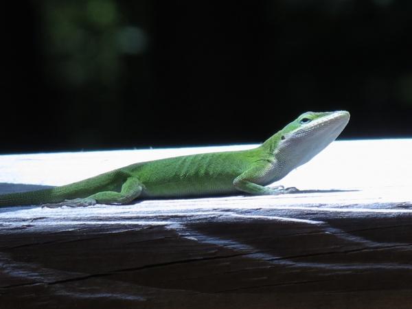 lizard nature animal