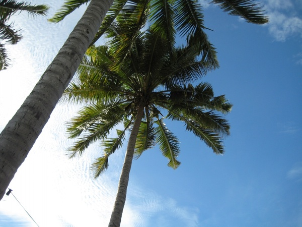 looking up at palm trees in the blue sky