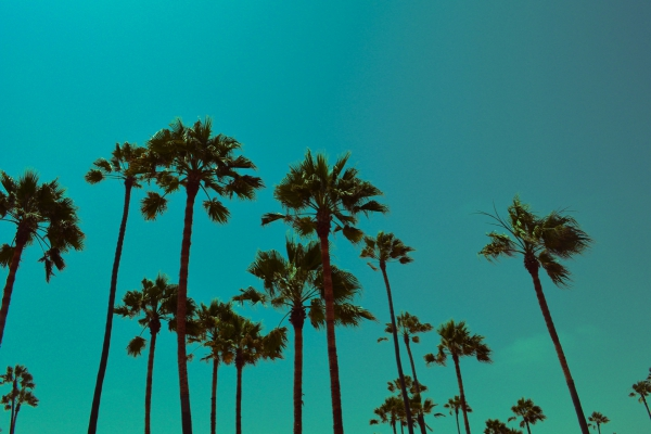 los angeles palm trees