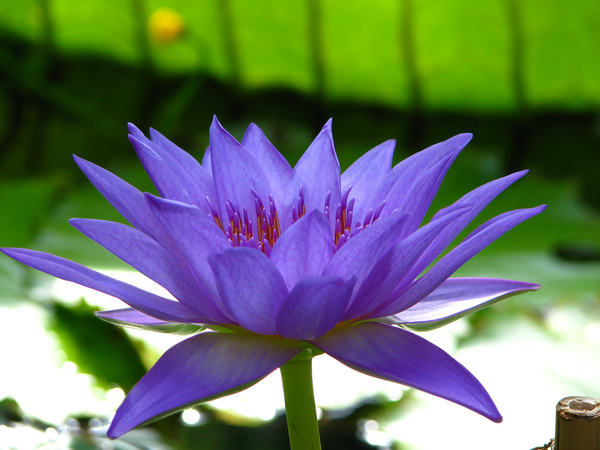 Image result for lotus flower photo free download