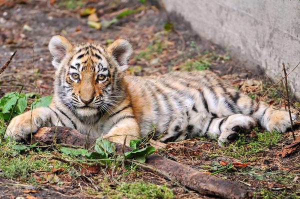 lying tiger cub