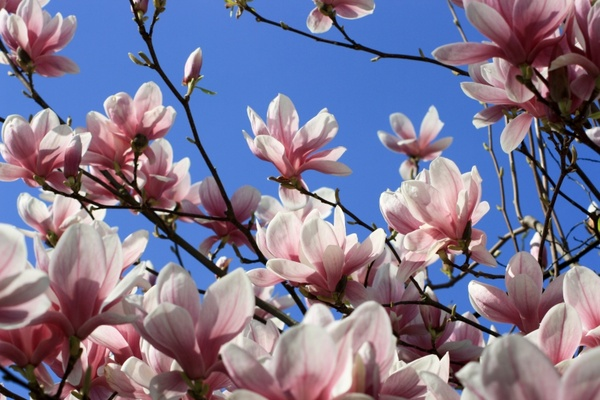 Magnolia Flower Tree Free Stock Photos In Jpeg Jpg 3888x2592