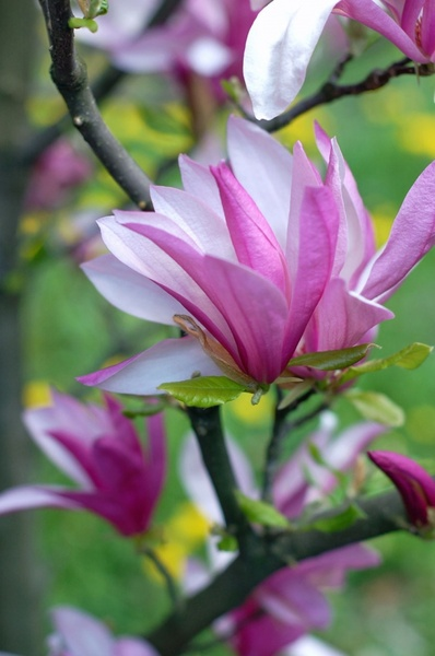 Magnolia Flowers Free Stock Photos In Jpeg Jpg 851x1280 Format