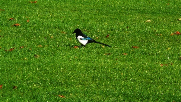 magpie on grass