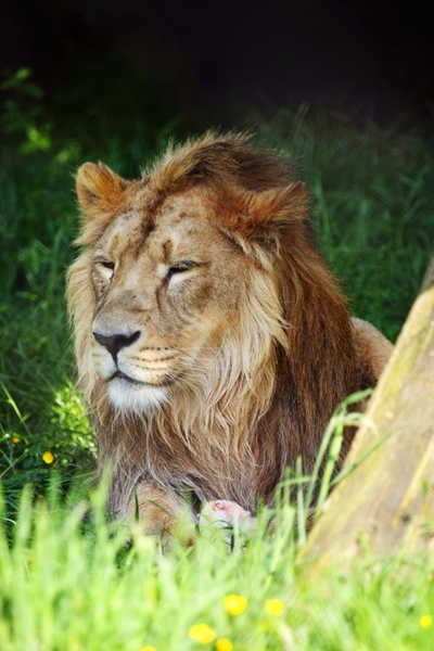 Lion image download for free free stock photos download ...