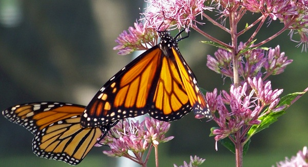 monarch butterflies on a flower