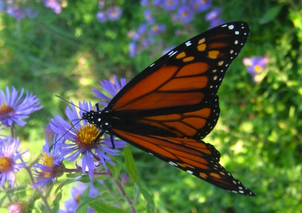 Monarch Butterfly On Flower Free Stock Photos In JPEG
