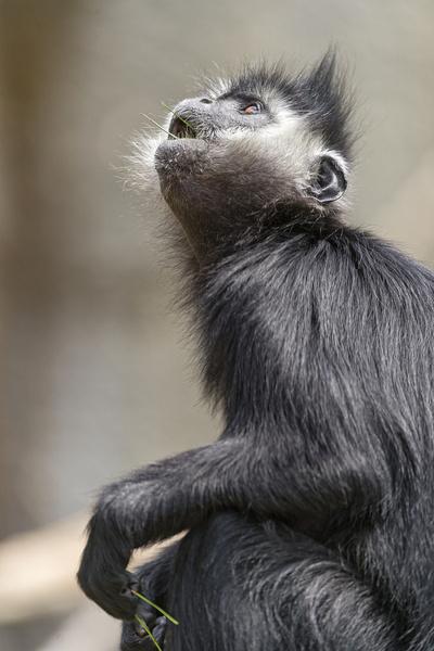 monkey looking upwards