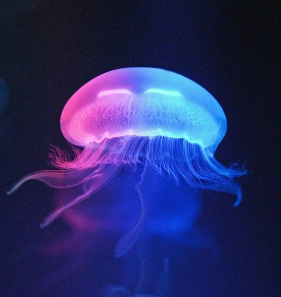 Image result for jellyfish free image