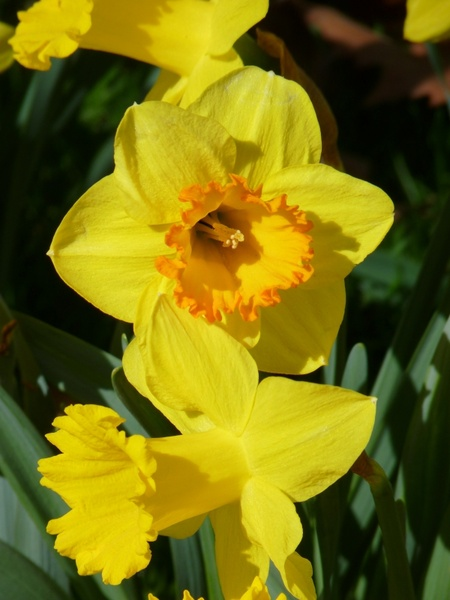 daffodils free stock photos download  133 free stock