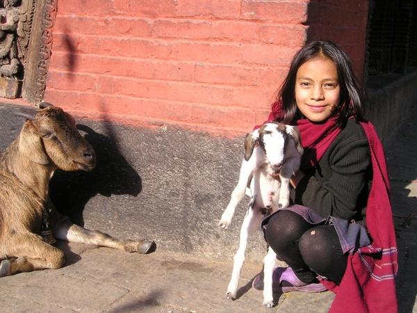 nepal goat sheep