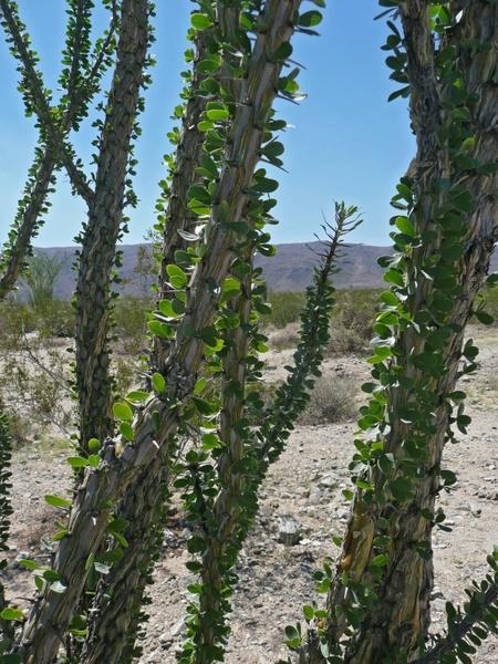 ocotillo plant joshua tree national park