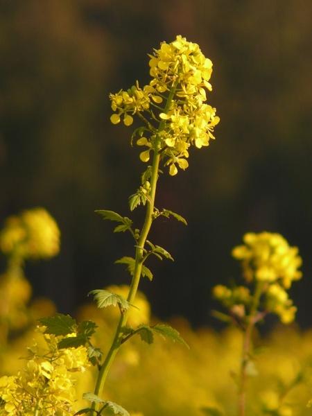 oilseed rape rapsfeld flower