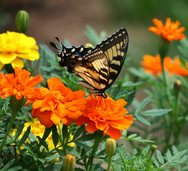 old world swallowtail butterfly papilio machaon
