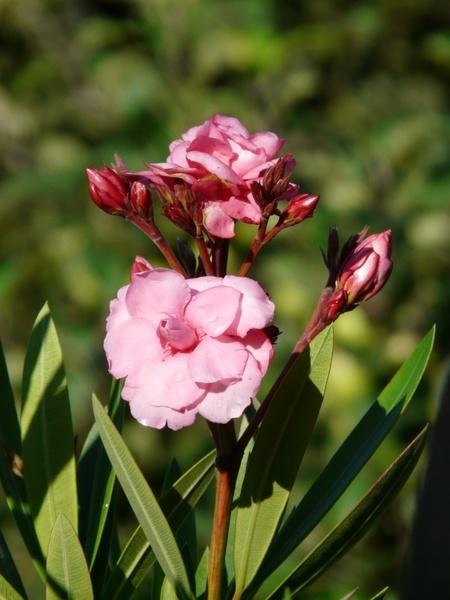 oleander bush nerium oleander free stock photos in jpeg jpg