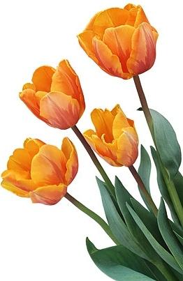 orange and yellow tulips stock photo