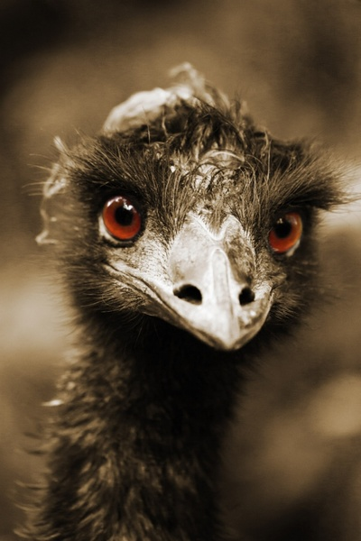 ostriches look