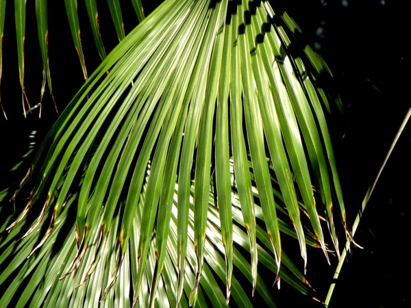 palm tree plant