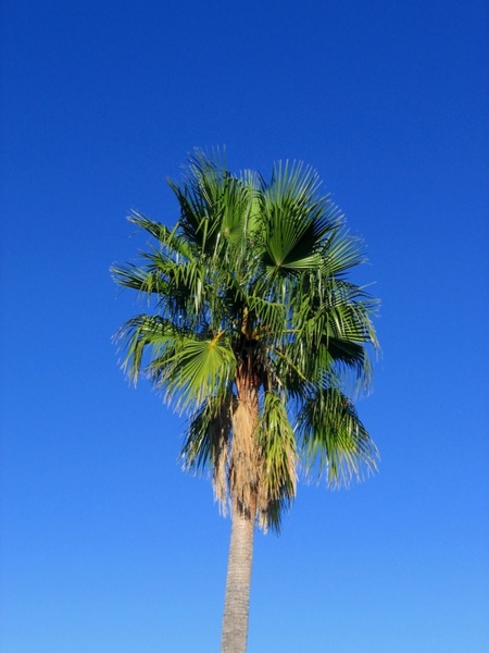 palm tree spain