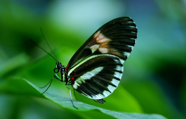 papilio rumanzovia butterfly