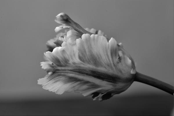 parrot tulip tulips flower