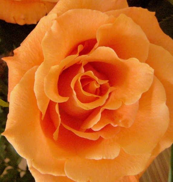 peach colored rose free stock photos in jpeg jpg 1221x1280 format
