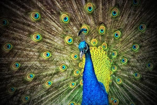 peacock animal iridescent