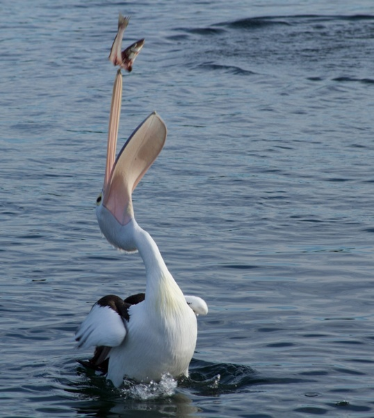 peilcan catching fish