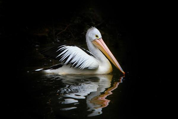 pelican bird sea birds