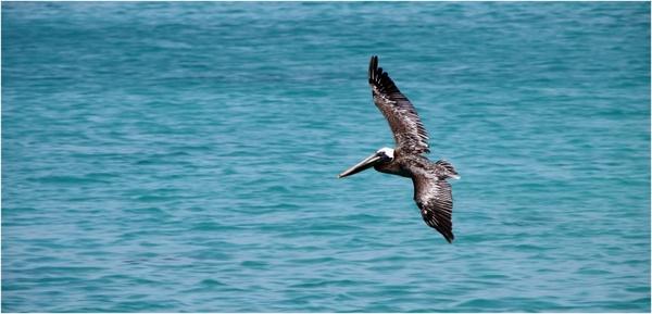 pelikan bird brown pelican