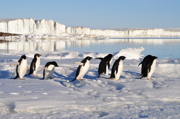 penguins birds arctic