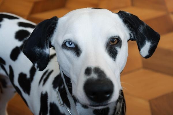 pets dog dalmatians