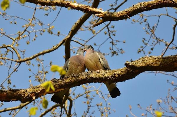 pigeons couple pair