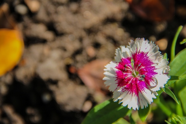 pink 038 white dianthus flower over dirt