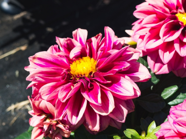pink and yellow flower in garden