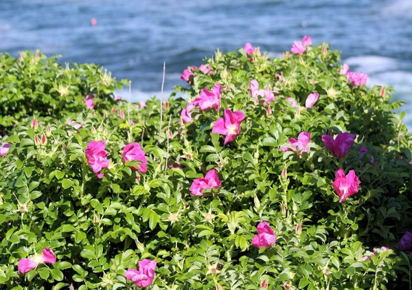 Pink Flower Bush And Ocean Free Stock Photos In Jpeg G 1280x900