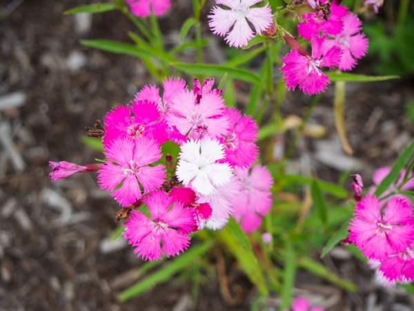 pink flowers 7