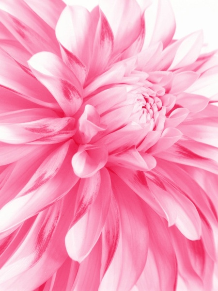 pink flowers closeup highdefinition picture