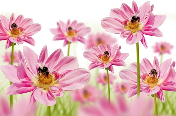 pink flowers with bees hd picture