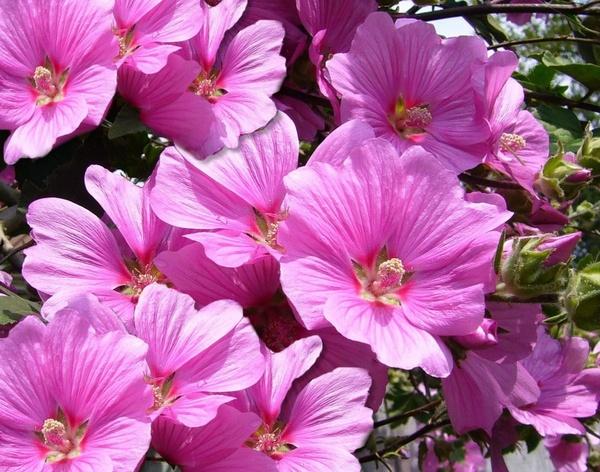 pink mallow flower flowers