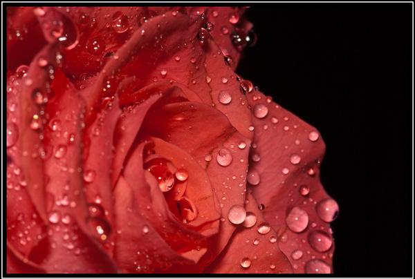 pink rose close up 2