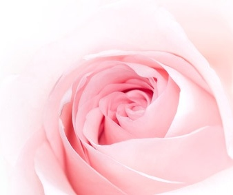pink roses picture