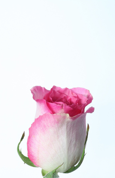 pinkwhite rose
