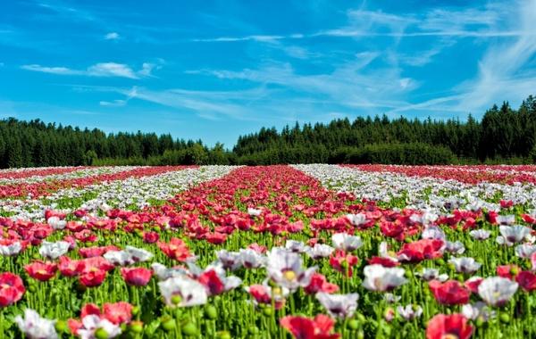 poppy field of poppies flower
