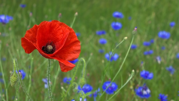 poppy flower nature