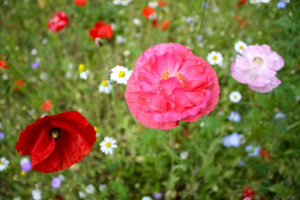 poppy pink poppy meadow flowers