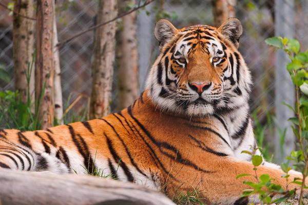 posing amur tiger